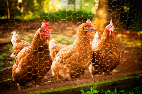 enjoy home grown eggs from our own free range Chooks