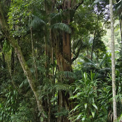 Very Tall Trees in Tamborine Mountain National Park