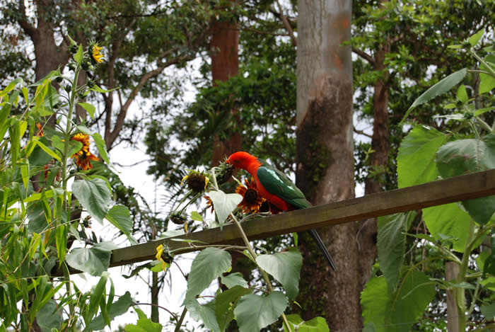 King Parrot Feeding at Witches Falls Cottages