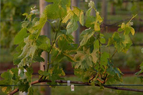 Grapes growing on Tamborine Mountain