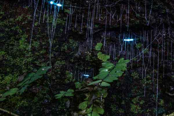 Tamborine Mountain Glow Worms