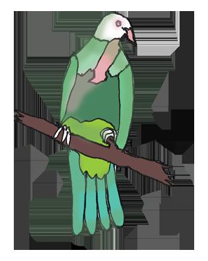 springbrook-national-park-wompoo-fruit-dove