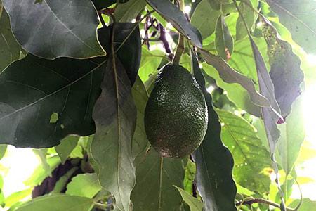 avocado-tree-fuerte-tamborine-mountain