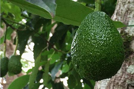 avocado-tree-haas-tamborine-mountain