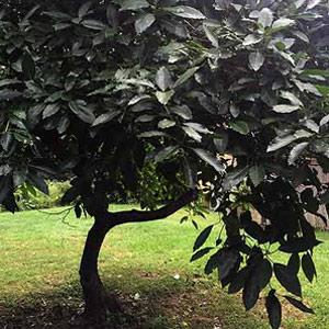 avocado-tree-tamborine-mountain