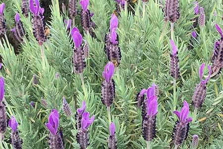 jasmin-organics-skincare-lavender