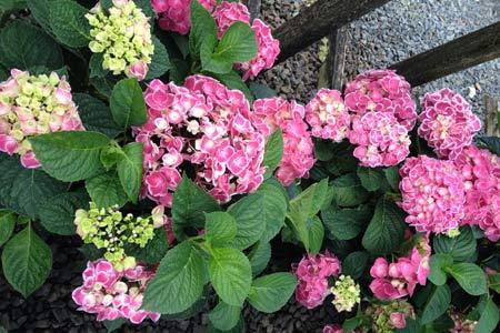 tamborine-mountain-nursery-hydrangeas