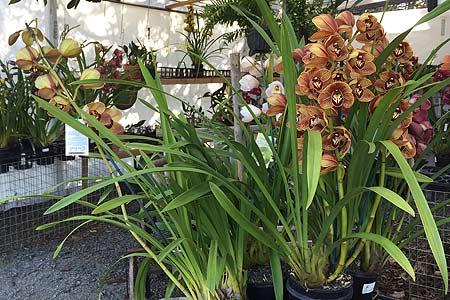 tamborine-mountain-nursery-orchid