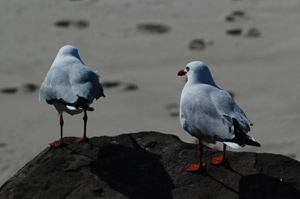 byron-bay-seagulls