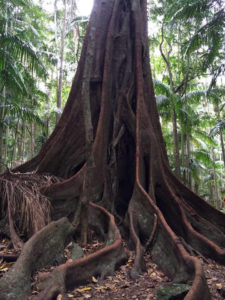 Huge Fig tree in Witches Falls Section Tamborine National Park