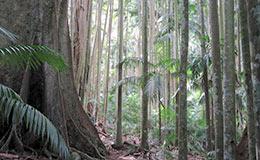 Tall towering rainforest trees on Tamborine Mountain