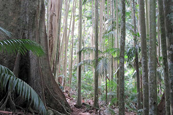 Huge trees at Palm Grove Rainforest Circuit Tamborine Mountain