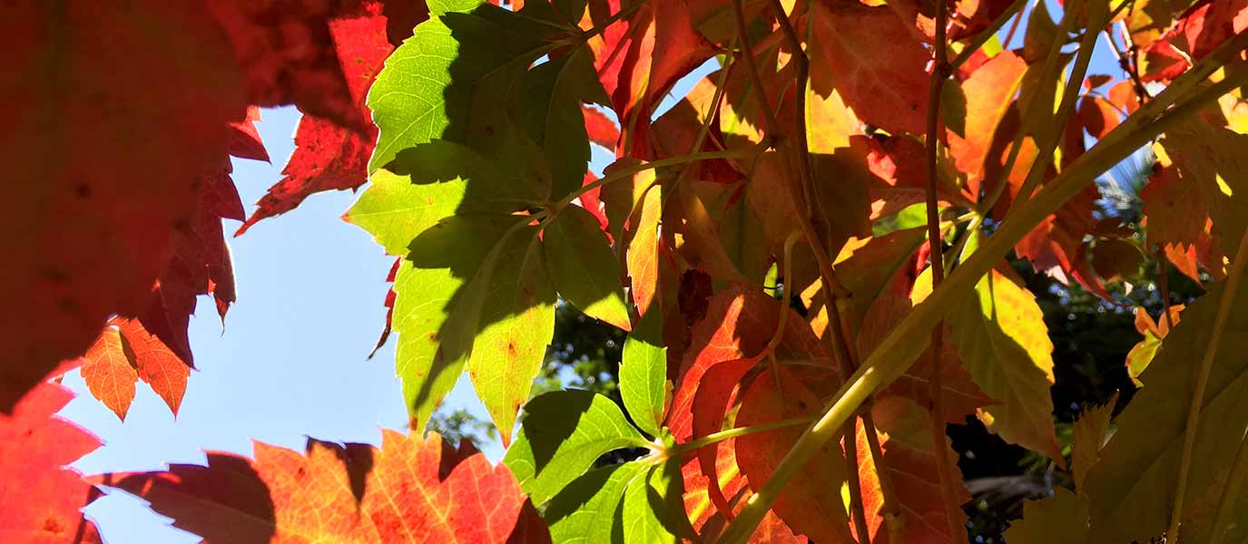 Autumn Leaves Multi Coloured with Blue Sky Background